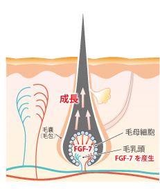 毛根・毛母細胞にFGF-7が浸透する図